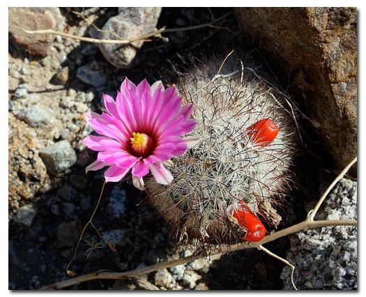 Fishhook cactus desertusa for Fish hook cactus