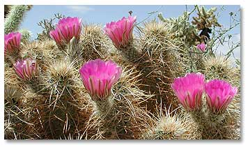Cactus flowers desertusa cacti bloom in a wide spectrum of colors but specialize in the hues of sunset rose salmon pink yellow each spring the flowers burst forth from the mightylinksfo
