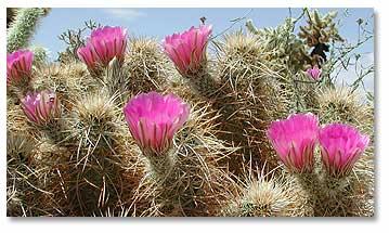 Cactus Flowers Desertusa