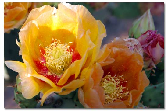 Prickly pear cactus desertusa prickly pear cactus flower mightylinksfo Images
