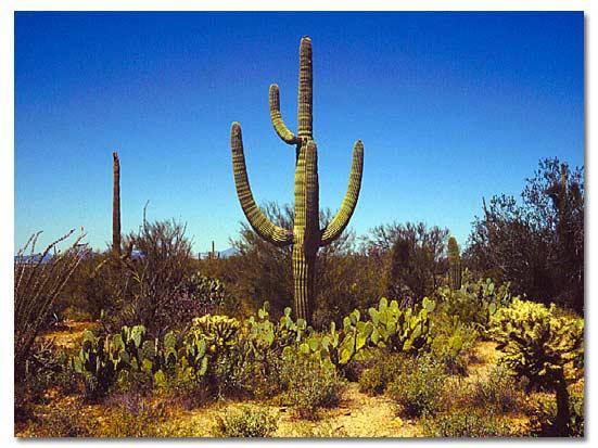 Cigaro cactus