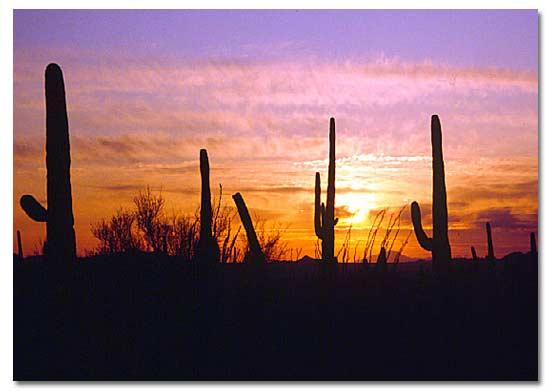 Desert Cactus - DesertUSA