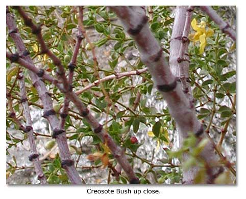 Creosote bush up close.