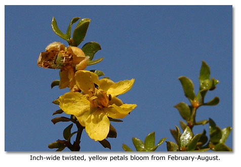 Inch-wide twisted, yellow petals bloom from February-August.