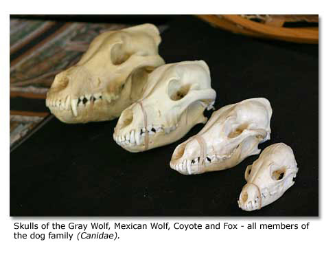 Coyote skull vs wolf skull - photo#3