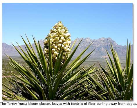 Desert Food Chain The yucca - DesertUSA