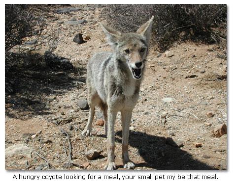 Coyotes like to kill small animal for food