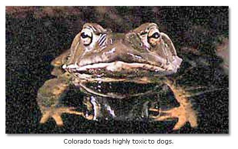Toads can be toxic to dogs