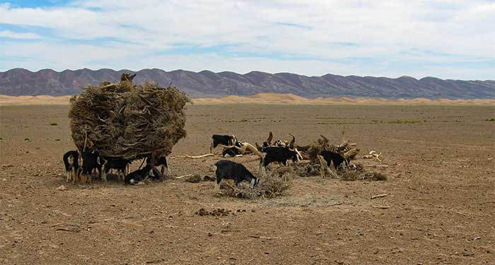 Goats in the Sahara