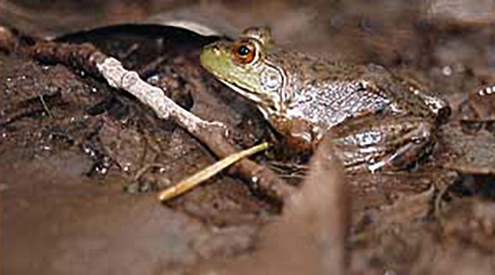 Southwestern Amphibians - DesertUSA