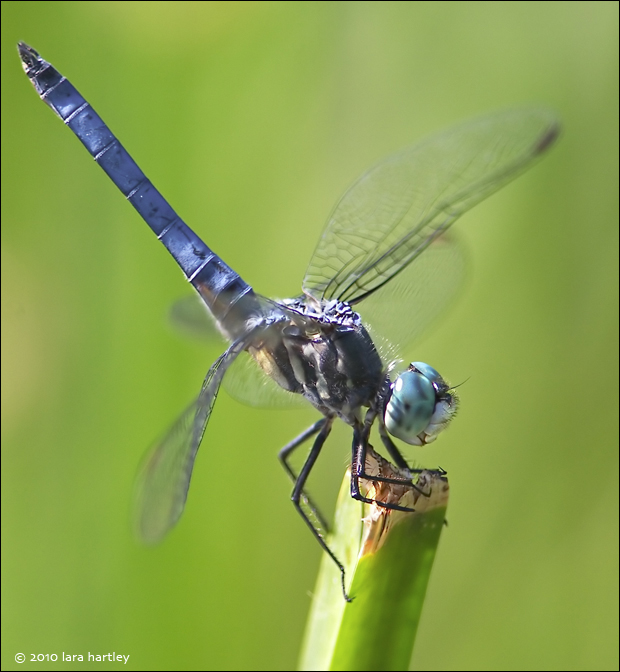 Dragonflies call the lush riparian areas of the canyon their home.