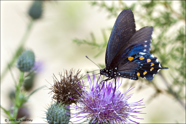 pipevine swallowtail butterfly on suisun thistle