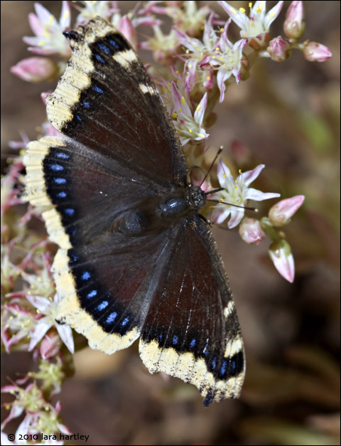 4162_mourning-cloak-butterfly_2