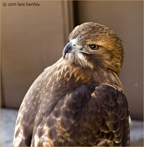 5615_red-tail-hawk_4
