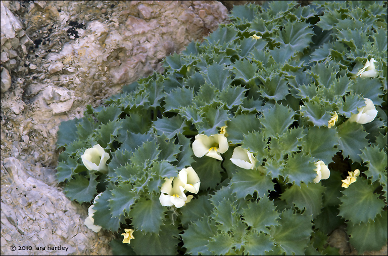 This lovely and rare flower blooms in Titus Canyon out of limestone crevices.