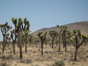 Joshua Trees NPS Photo