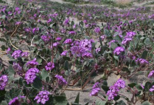 Sand Verbena at Henderson Canyon Rd. North.
