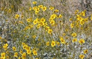 Brittlebush along the road near Peg Leg Monument.