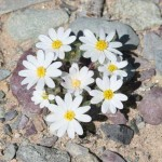 Rock daisies at the Preserve