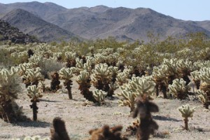 The Cholla Cactus Garden along the Pinto Basin Rd. in Joshua Tree NP.