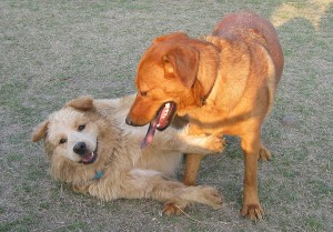 Dogs at play.
