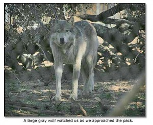 wolf_stand