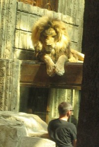 A male lion with his trainer in the black shirt.  Under the lion is the glass tunnel for easier viewing.