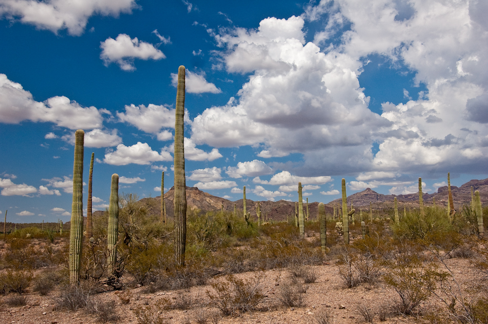 Watch Those Saguaros: They Sure Can Hurt You!