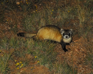 Black-footed ferret numbers continue to rise