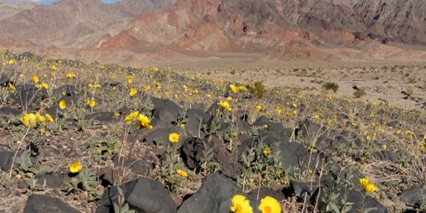 The dark, volcanic hills near Ashford Mill are usually a good place to look for early bloomers. The black basalt rocks absorb heat from the weak winter sunlight and the trapped sand drifts absorb moisture from passing rainstorms. This photo was taken on December 25, 2015. NPS Photo