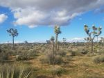 Look Closely, Blooms On Nearly Every Joshua Tree