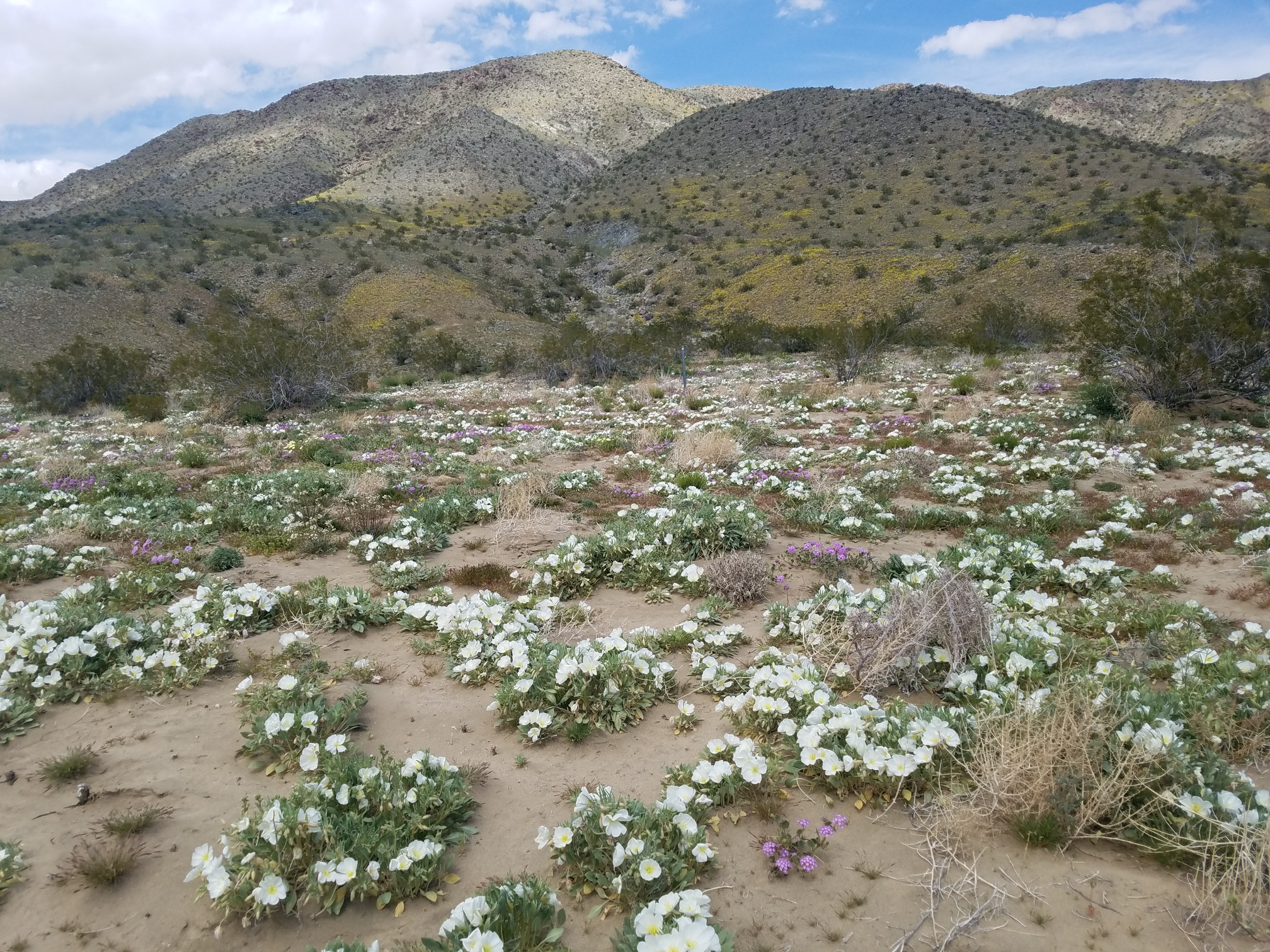 "Blooms In The Mojave-Higher Elevation-Nothing Orange ""Yet"""