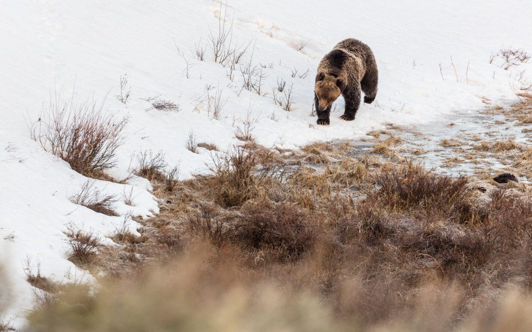 Yellowstone's first bear sighting of 2021