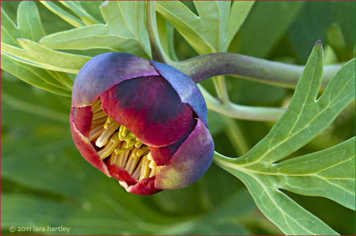 5527_paeonia-californica_3