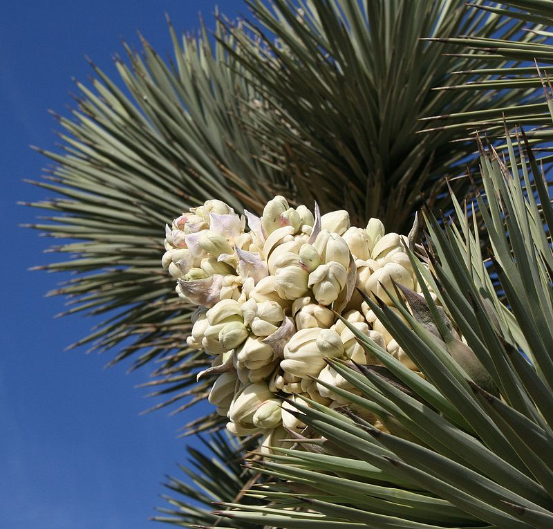 Full Bloom Of The Joshua Tree