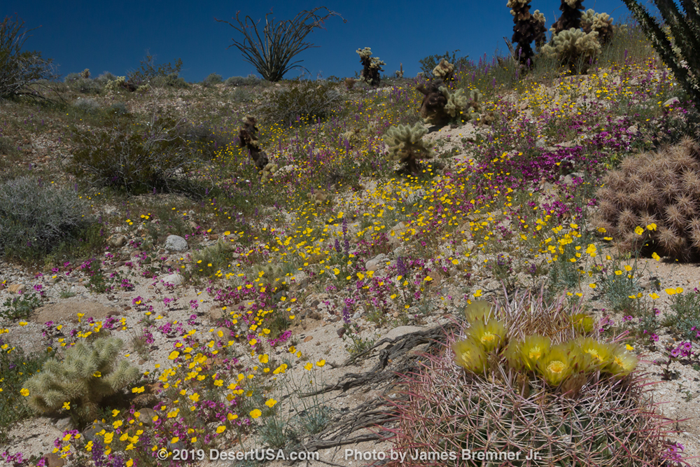 Photo taken at Carrizo Badlands Overlook along S-2 in the southern region of Anza-Borrego Desert State Park. Desert gold poppies and purple Bigelow's monkeyflower with barrel cactus bloom in foreground.