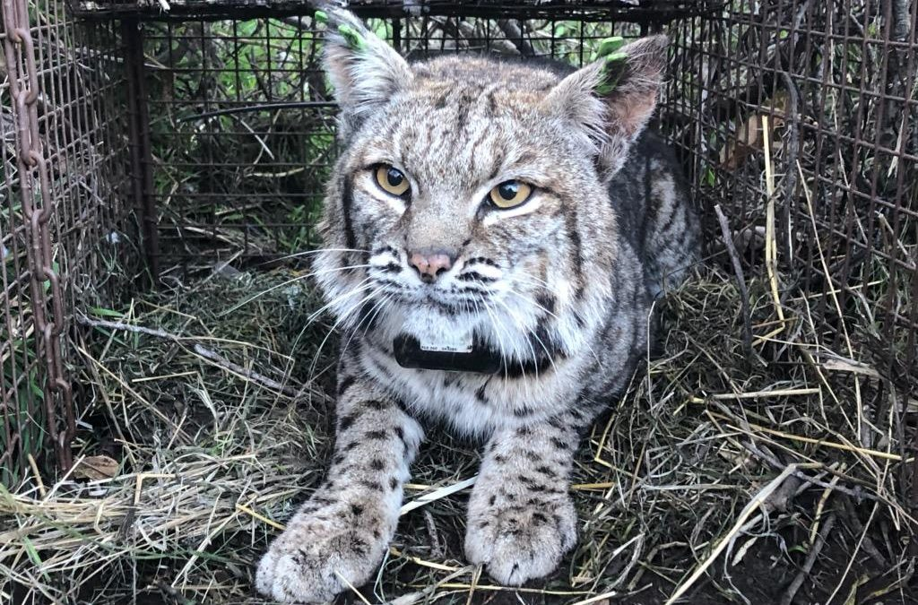 Bobcat and mountain lion found dead from anticoagulant rodenticide poisoning