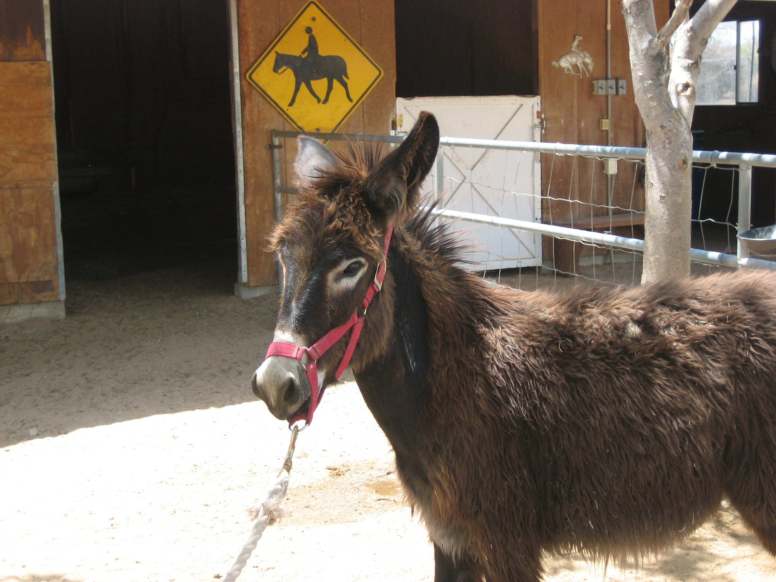 Wild Burros on the Mojave