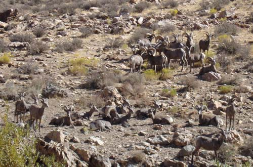 A herd of Bighorn Sheep.