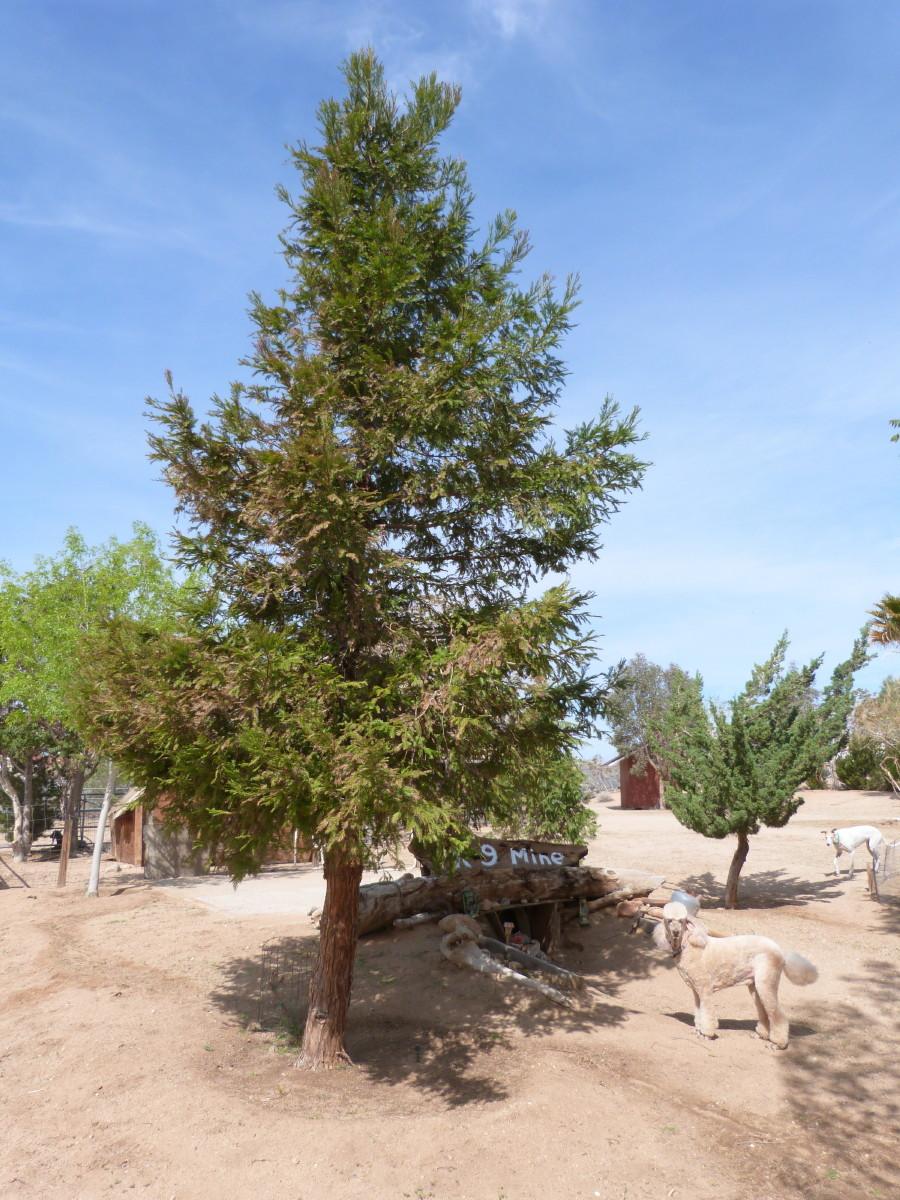 Non-Native (and a few native) Mojave Desert Flora