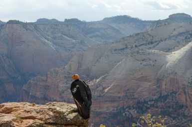Condor-Chicks-Mother-9-in-Zion-NPS-photo