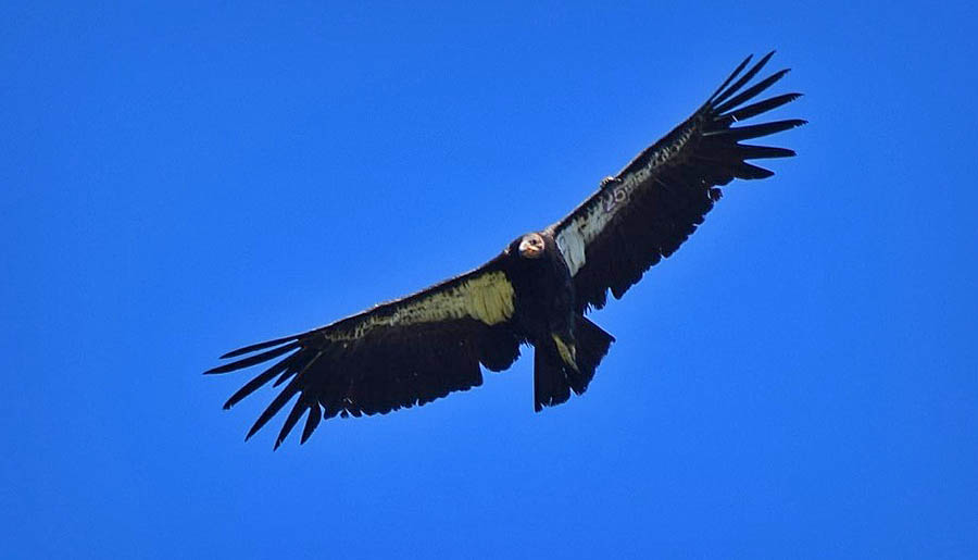 California Condors Spotted in Sequoia National Park, First Time in Nearly Half a Century