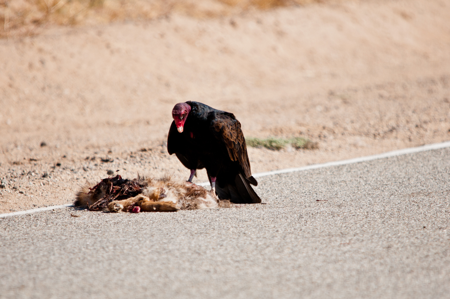 Vulture Eating Human