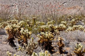 Ocotillo in the background; teddy-bear cholla in middle; silver cholla in foreground