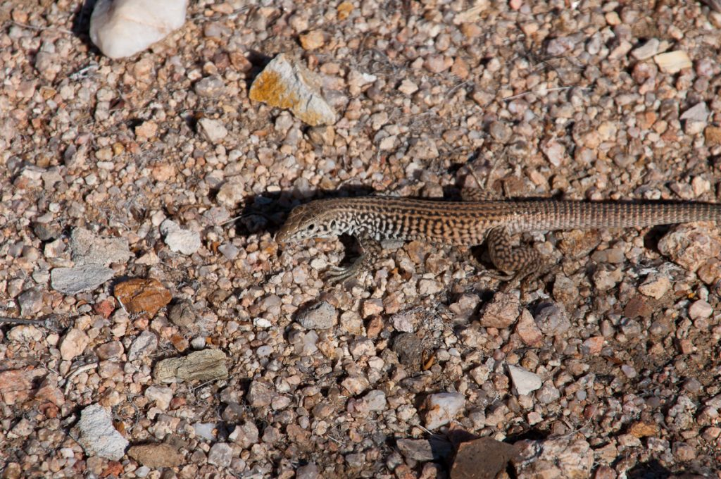 Darting Lizard