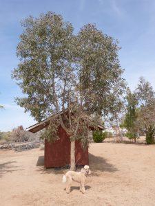 Desert Eucalyptus