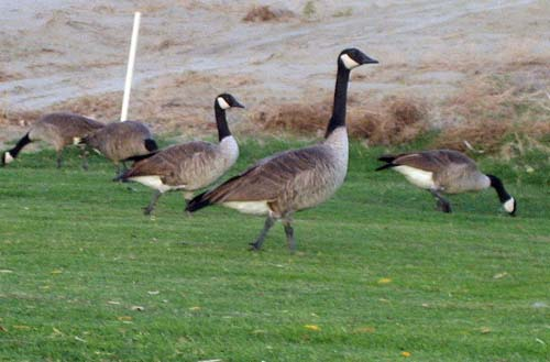 A small flock of Canadian Geese on a desert golf course.