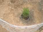 Newly Planted Creosote Still in the Container