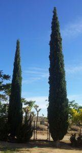 Italian Cypress1
