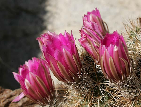 Indian canyons wildflower hike palm springs ca desert road trippin hedgehog cactus blooms mightylinksfo